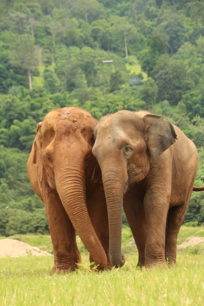 Volunteer with Elephants (seriously!) in Chiang Mai