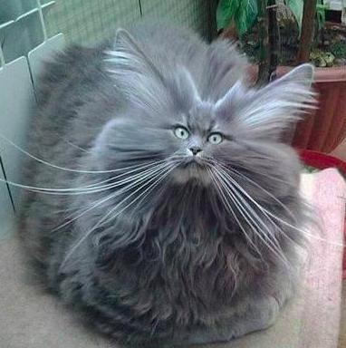 cat big hair