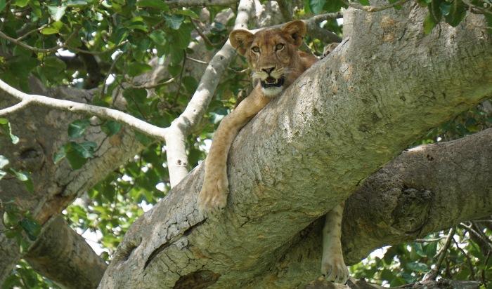 Ishasha_lion2